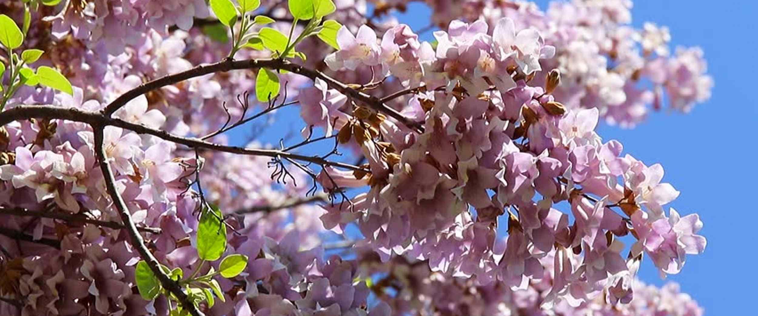 Piantare Alberi Di Paulonia pianta mangia-smog per pulire l'aria - vivafm